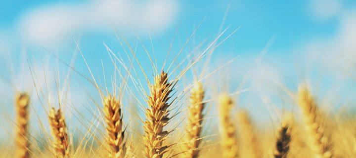 Identifican genes de referencia útiles para la mejora genética del trigo