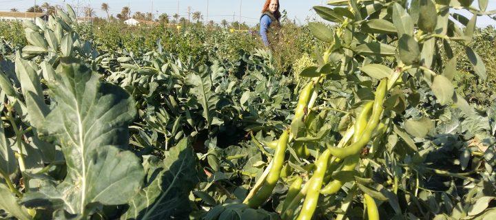 El cultivo asociado de brócoli y habas reduce el uso de fertilizante hasta un 30%