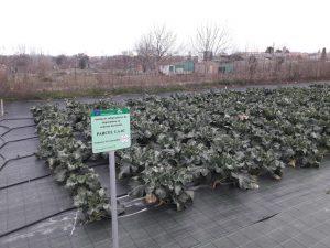 Plantación de brocolí en fincas ASG en Agramunt (Lleida)