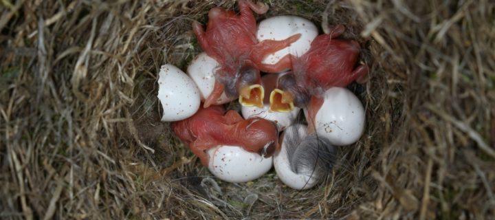 Estudian una avispa que parasita a las moscas que atacan a los pollitos de las aves