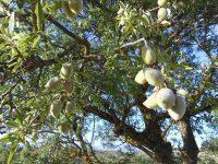 Investigan el uso de la capota de almendra para la alimentación animal
