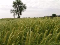 Las variedades de trigo duro de zonas secas y húmedas de la cuenca mediterránea hacen un uso diferente del agua
