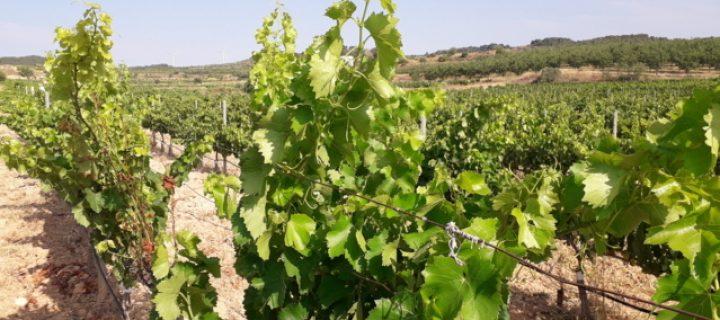 Efectos de la sequía y las altas temperaturas en la respuesta ecofisiológica del viñedo