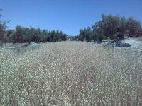 Siembran avena en las calles del olivar, aumenta la rentabilidad y disminuye la erosión