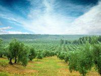 Lanzan una aplicación móvil para optimizar el fertirriego en olivar