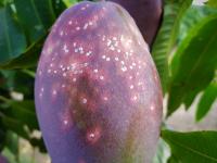 Avances para el manejo sostenible de la cochinilla blanca del mango