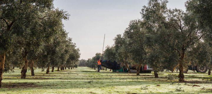 La DOP Estepaespera duplicar el uso de cubiertas vegetales en los próximos cinco años