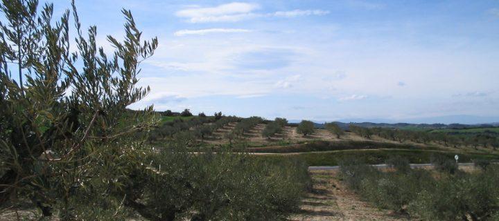Control de la mosca del olivo en Navarra con trampas de cebo sólido