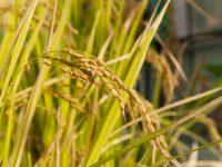 Las variedades de trigo españolas, claves en la mejora del cultivo