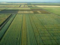 Identifican las variedades mejoradas de trigo más resistentes al calor