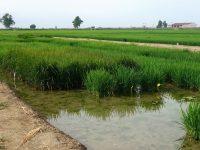 La simbiosis abre nuevas posibilidades para el cultivo de arroz más sostenible