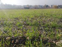 Mejora de la sostenibilidad ambiental y económica de la producción de trigo en España
