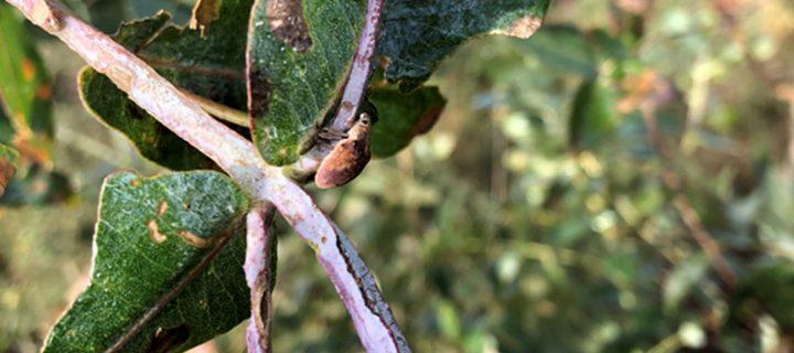 Últimas actuaciones contra la plaga Gonipterus platensis en la Cornisa Cantábrica