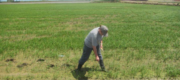 La siembra en seco de arroz gana terreno en el Delta del Ebro para luchar contra el caracol manzana