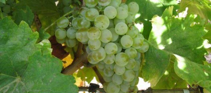 Recuperadas ocho variedades de vid autóctonas en Castilla-La Mancha