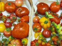 El CSIC busca desarrollar tomates más resistentes y con más sabor