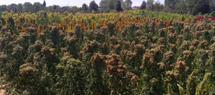 Análisis de la fenología y las necesidades nutricionales de la quinoa
