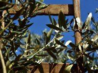 La Rioja inicia la campaña para la recogida de material vegetal de olivos singulares