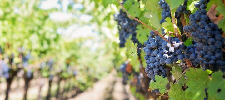 El deshojado precoz en la vid mejora potencial enológico en vinos tempranillo