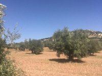 Aceites García de la Cruz apuesta por nuevas estrategias en sus cultivos