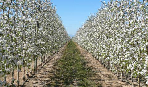 Eficacia del aclareo químico en manzano en función del estado fenológico del fruto