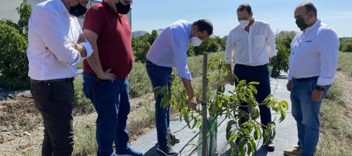 Buscan soluciones sostenibles al problema fúngico del aguacate