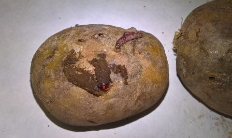Polilla guatemalteca, una amenaza para el cultivo de la patata