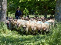 Descubren una nueva metodología para evaluar el contenido en grasa y proteína de la leche de oveja Latxa