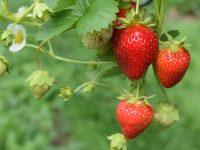 La UE aprueba un proyecto para reducir un 20% el uso de agua en el cultivo de fresa de Doñana