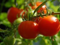Investigan para desarrollar tomates más resistentes y de mejor calidad