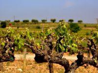 Una app permitirá a bodegas gestionar mejor las viñas frente al cambio climático