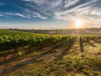 Evalúan los efectos de diversificar cultivos en viñedos húngaros