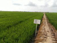 Estrategias para la optimización de la fertilización orgánica del cultivo del arroz