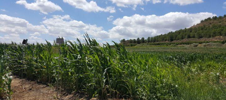 Influencia del paisaje agrícola en la abundancia de herbívoros y sus enemigos naturales en maíz