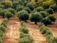 GEN4OLIVE acelerará el aprovechamiento de los recursos genéticos del olivo