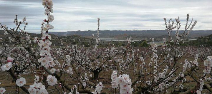 Investigan la resiliencia de frutales en la región mediterránea