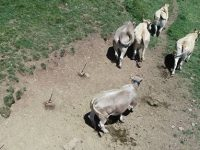Los drones al servicio de la ganadería extensiva