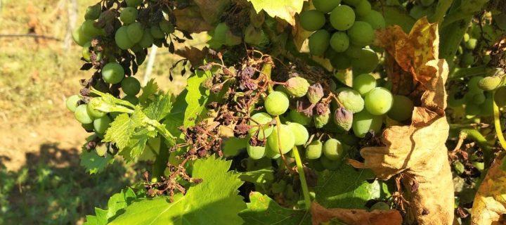 Investigan cómo reducir el impacto negativo de los fitosanitarios en olivar y viña