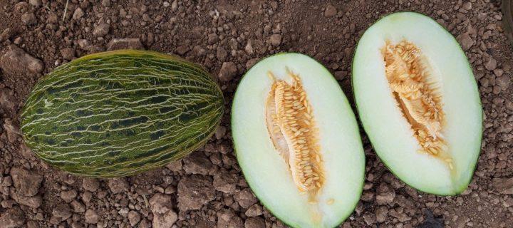 Mercomancha apuesta por Minimel, el melón Piel de Sapo pequeño