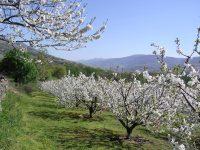 Nuevas estrategias de riego en cerezo