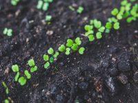 Avanzan en una tecnología para limpiar suelos contaminados con plantas