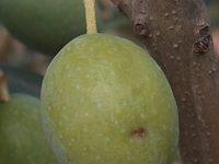 Reconocido un trabajo de la UCO sobre el control de la mosca del olivo