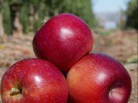 La primera manzana adaptada al cambio climático se plantará en 2021 en Cataluña
