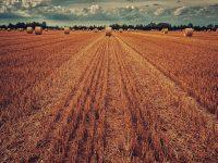 Analizan 80.000 variedades de trigo para emplearlas en nuevos procesos de mejora