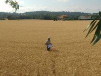 Un estudio revela que la cobertura vegetal de los cultivos de cereal aumenta su rendimiento agronómico
