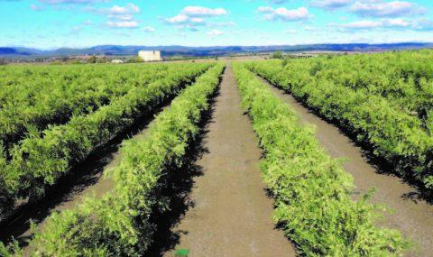 Un estudio de la UCO revela una huella de carbono positiva en una explotación de olivar en seto