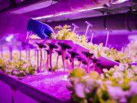 Ponen en el mercado lechugas vivas sin tratamientos fitosanitarios