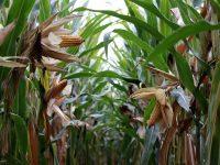 Principales problemas del maíz que afectan a los agricultores del sur de Europa