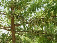 Aumentar la variabilidad genética actual del almendro para asegurar un progreso en su mejora