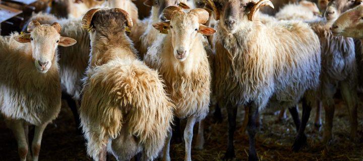 Las necesidades nutricionales y el control de parásitos internos, principales inquietudes del sector ovino